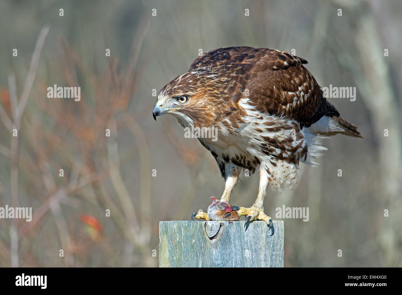 Red-tailed Hawk Eating Prey - Stock Image