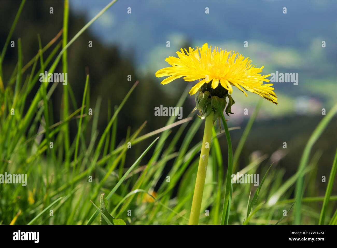 Dandelion flower on mountain Breitenstein in the Alps in Bavaria, Germany - Stock Image