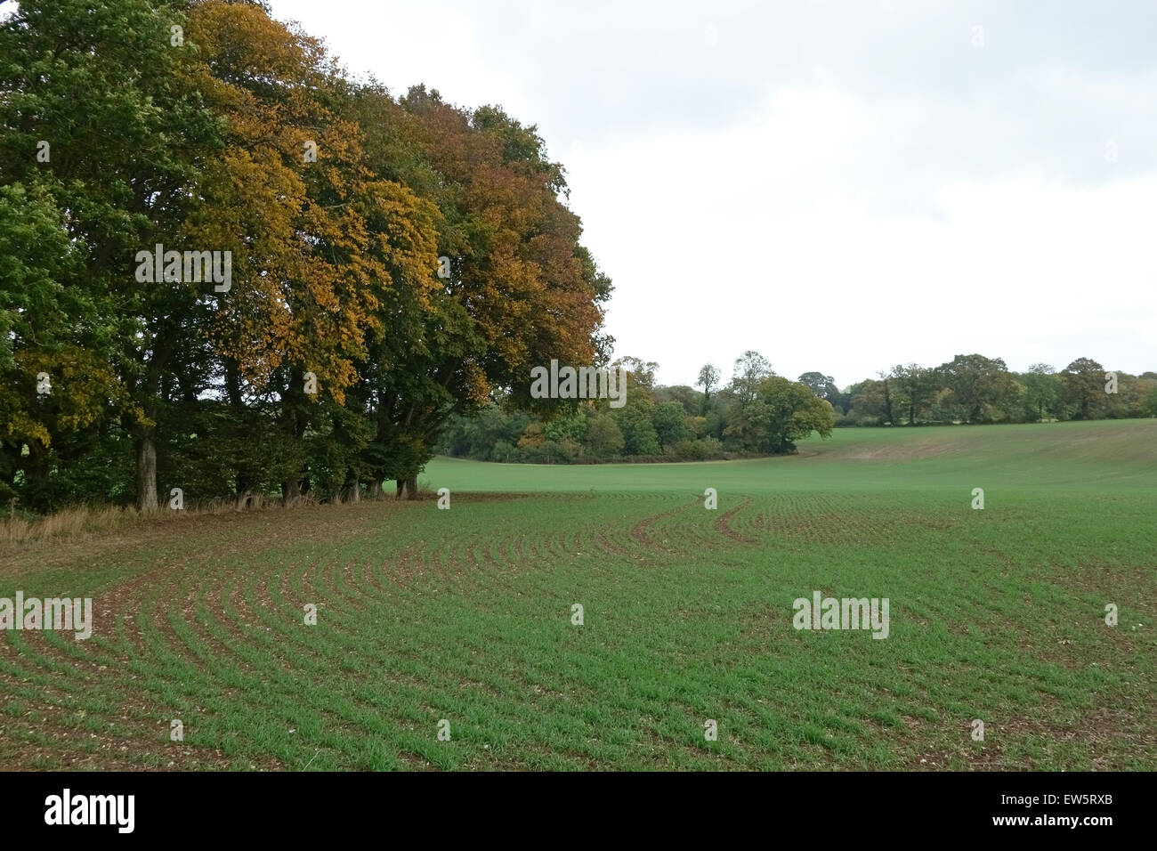Young winter wheat crop in autumn with trees turning to autumn colour, Berkshire October - Stock Image