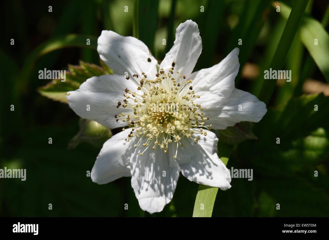 A bramble or blackberry, Rubus fruticosus, white Rosaceae flower, Berkshire, June - Stock Image