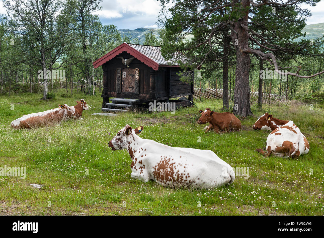 Norway, the Gudbrandsdalen Valley. Cattle grazing around a traditional  mountain hut (hytte) in the summer - Stock Image