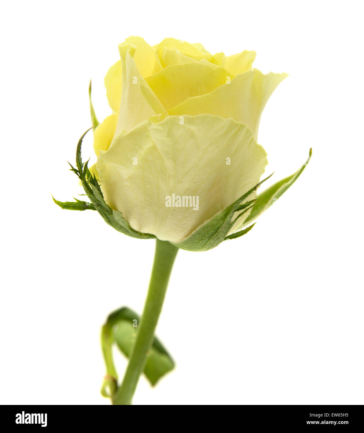yellow-green rose flowers macro on white background Stock Photo