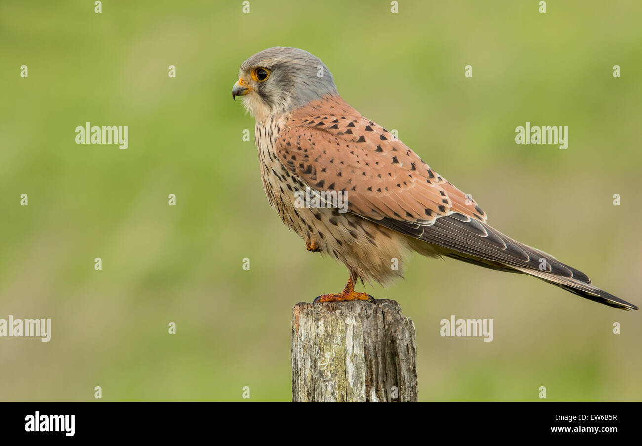 kestrel male perched on fence post - Stock Image