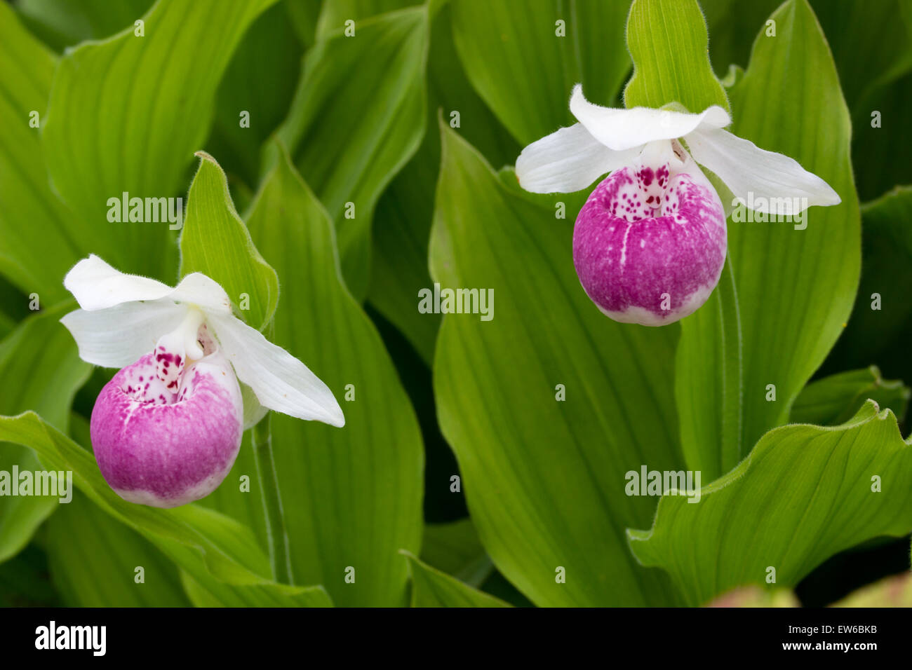 Pouched flowers of the terrestrial ladies slipper orchid, Cypripedium 'Ulla Silkens' - Stock Image