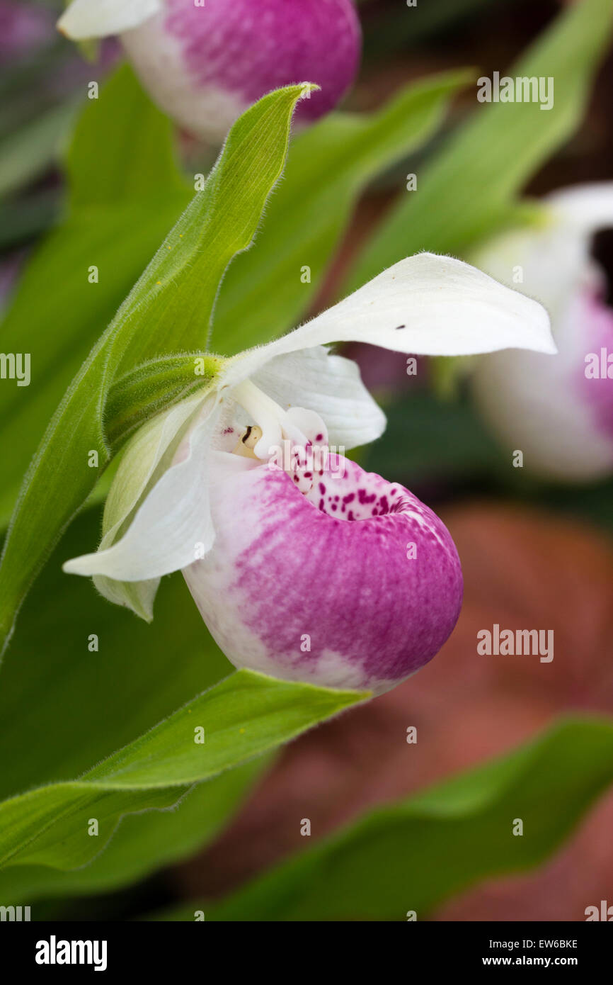 Pouched flower of the terrestrial ladies slipper orchid, Cypripedium 'Ulla Silkens' - Stock Image