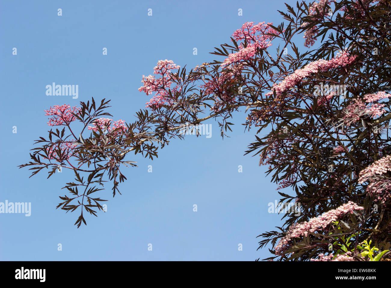 A flowering branch of the cut leaved elder, Sambucus nigra 'Black Lace' set against a blue June sky. - Stock Image