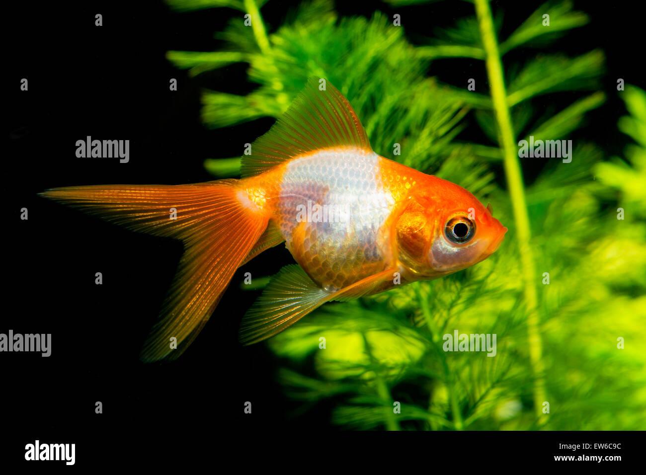 White Goldfish Stock Photos & White Goldfish Stock Images - Alamy