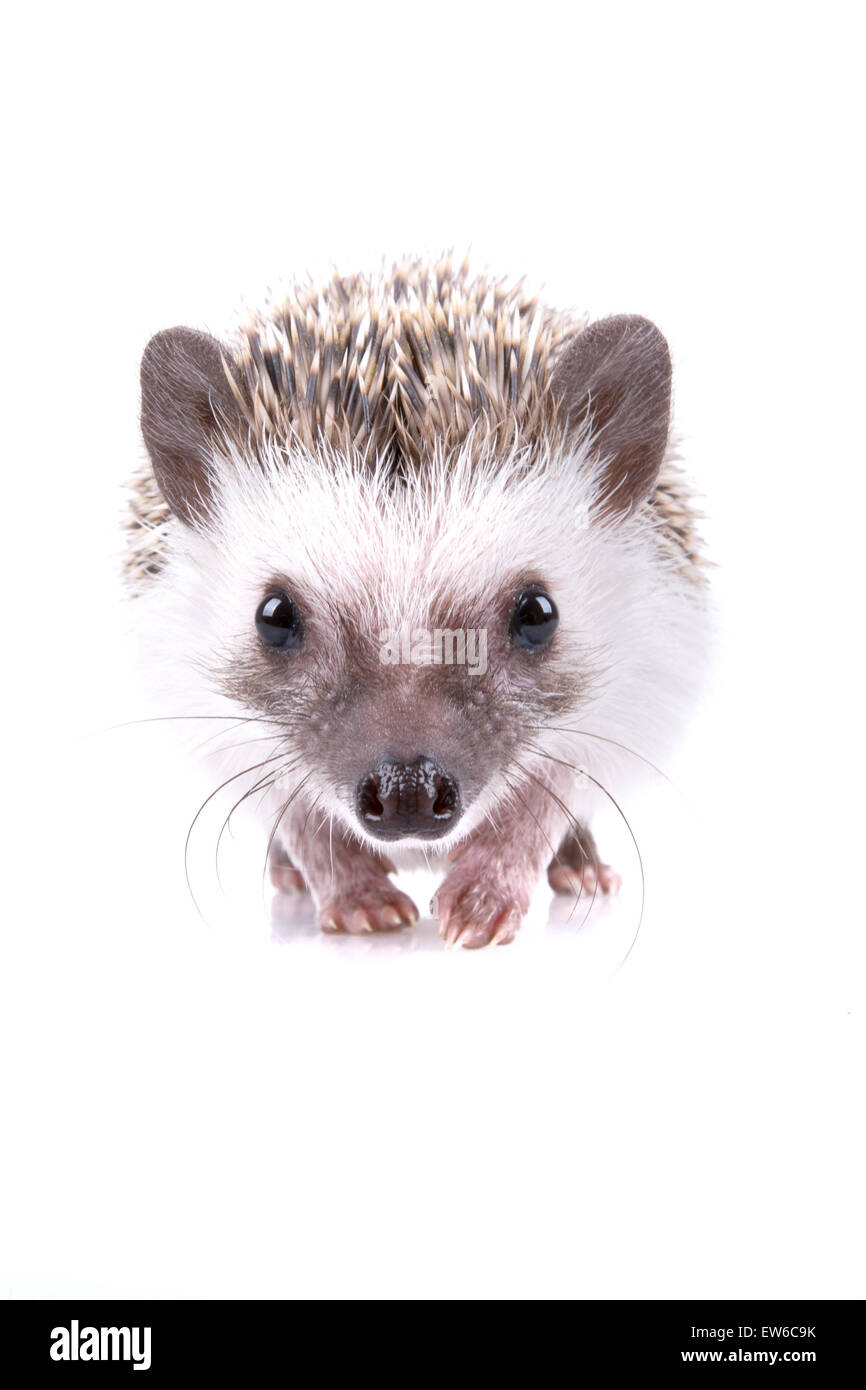Nice portrait of hedgehog on the white background. - Stock Image