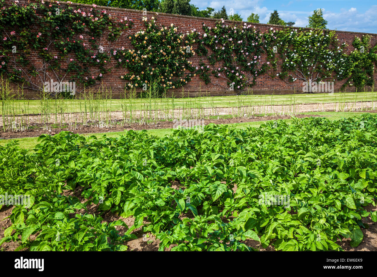 Vegetable garden with climbing roses in the walled gardens of Bowood House in Wiltshire. - Stock Image