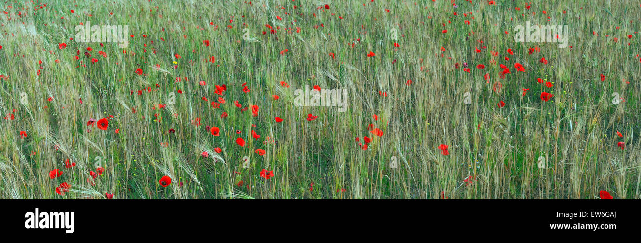 Panoramic image of Red poppies mixed with barley crops field. Lemnos or Limnos island, Greece - Stock Image