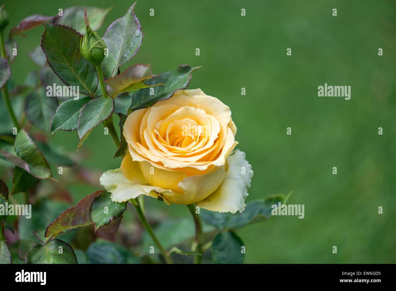 Yellow Rose [Honey Dijon] Stock Photo