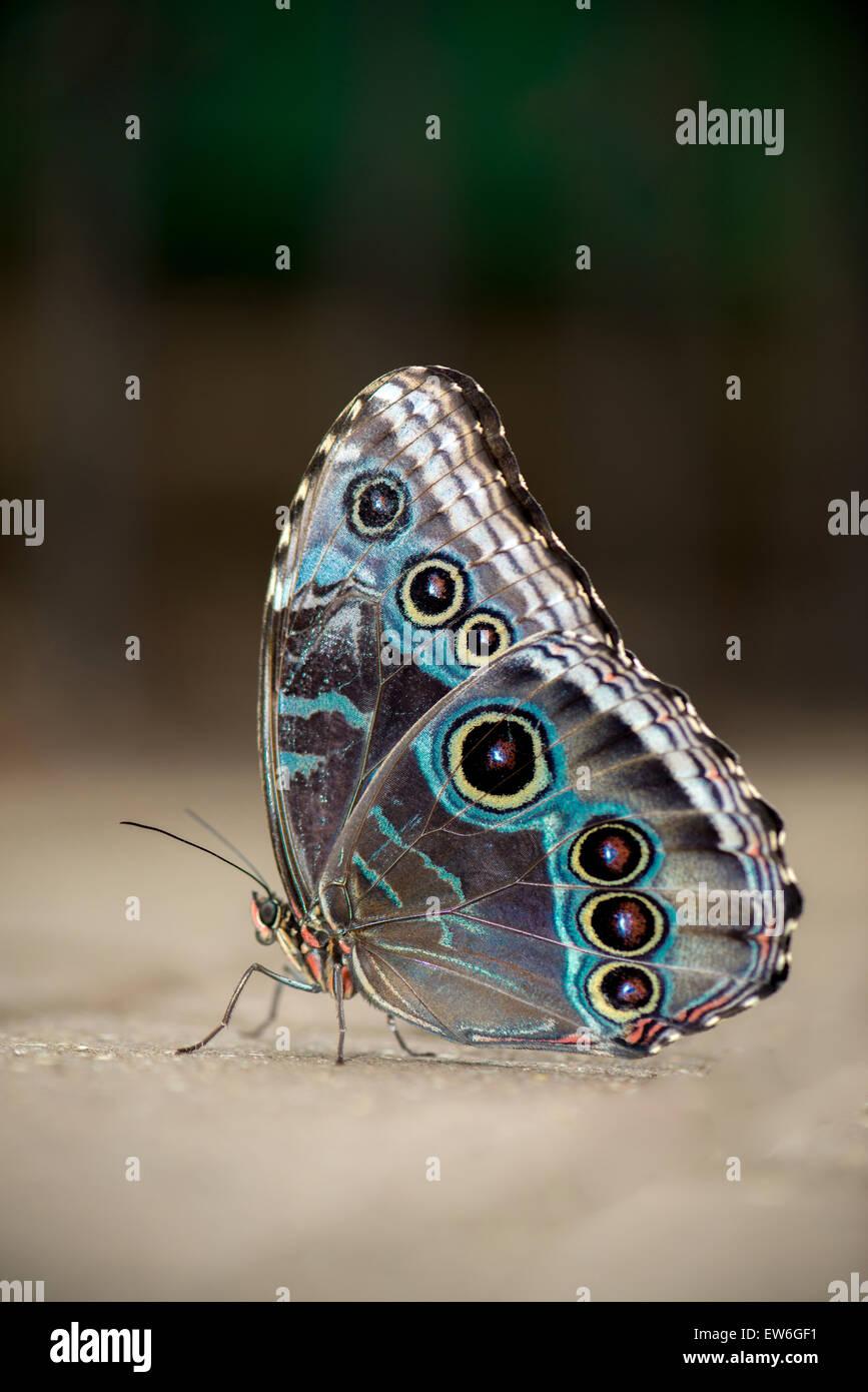 Blue Morpho - Male Butterfly Stock Photo