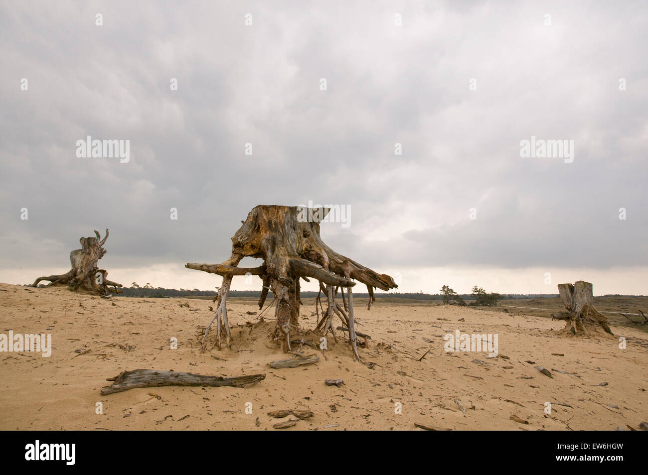 Eroded tree stumps stand on their roots in the Hoge de Veluwe National Park in the Netherlands. - Stock Image