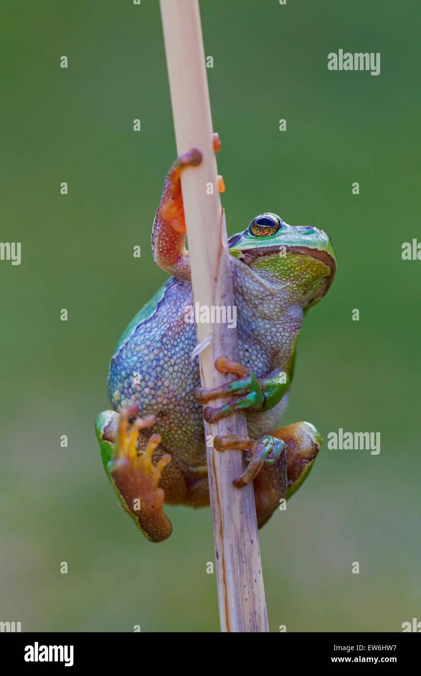 European tree frog (Hyla arborea / Rana arborea) climbing reed stem in wetland - Stock Image