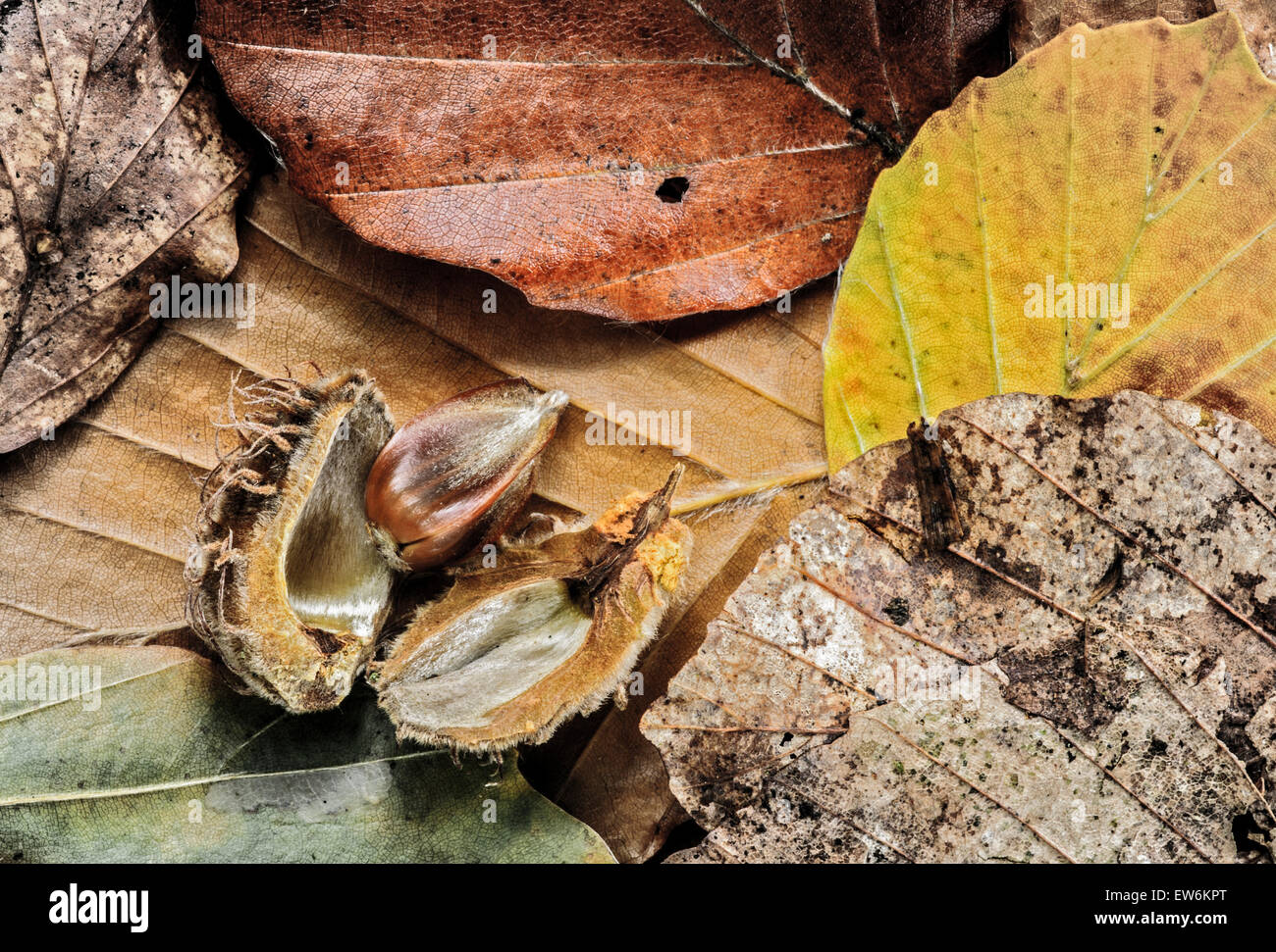 Beech nut and leaves - Stock Image
