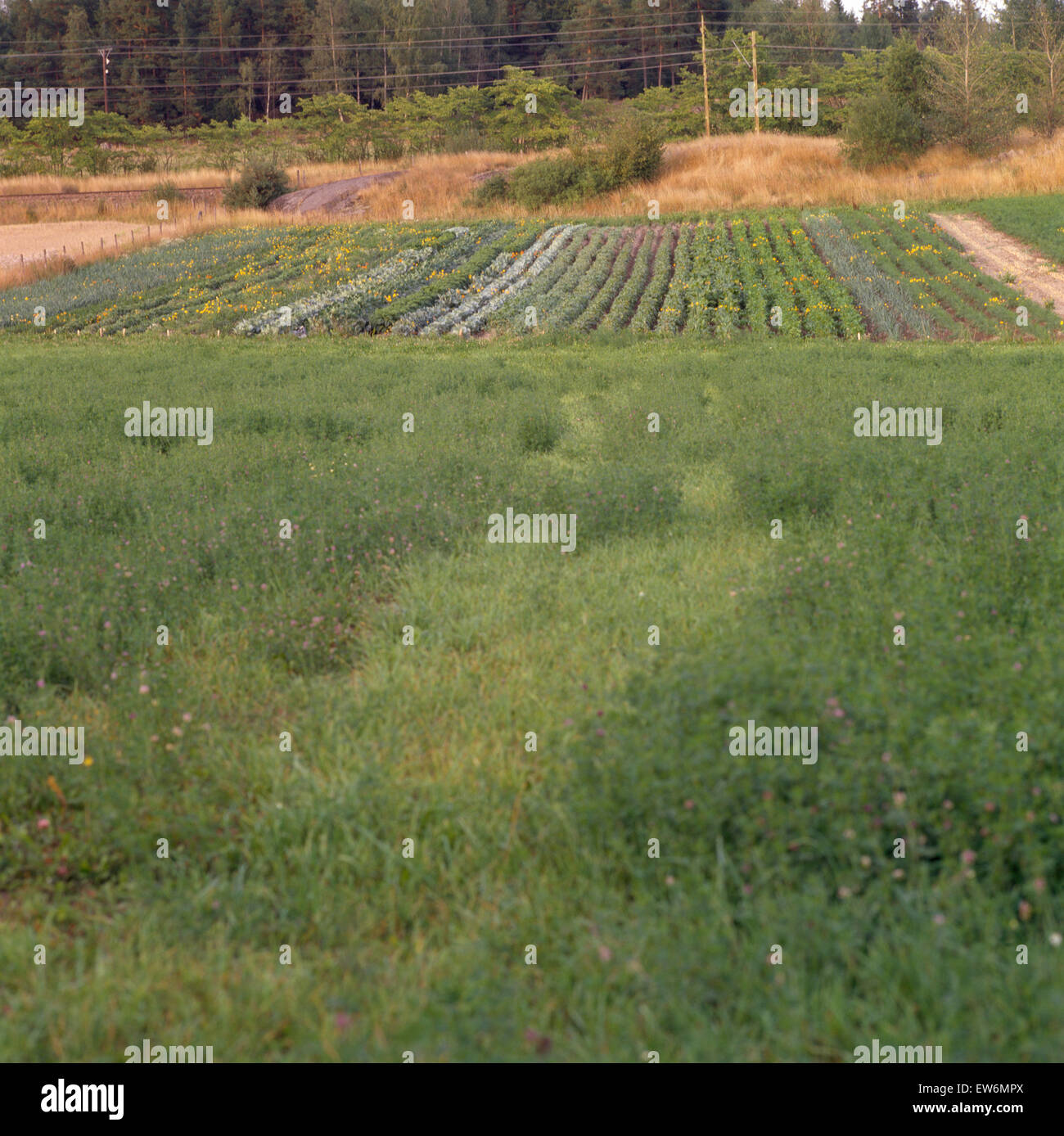 Neat rows of vegetables in country garden viewed across a green field - Stock Image