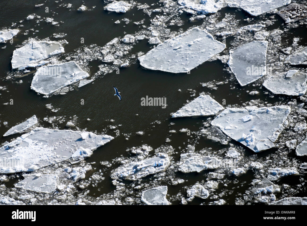 Aerial view of a bird  flying above ice floes on a frozen river - Stock Image