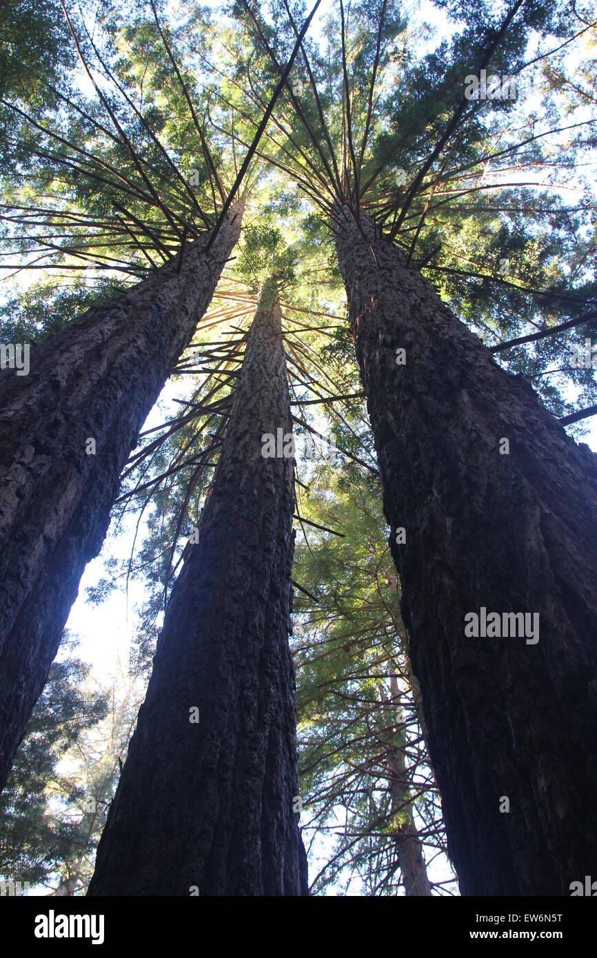 Majestic Towering  Redwoods - Stock Image