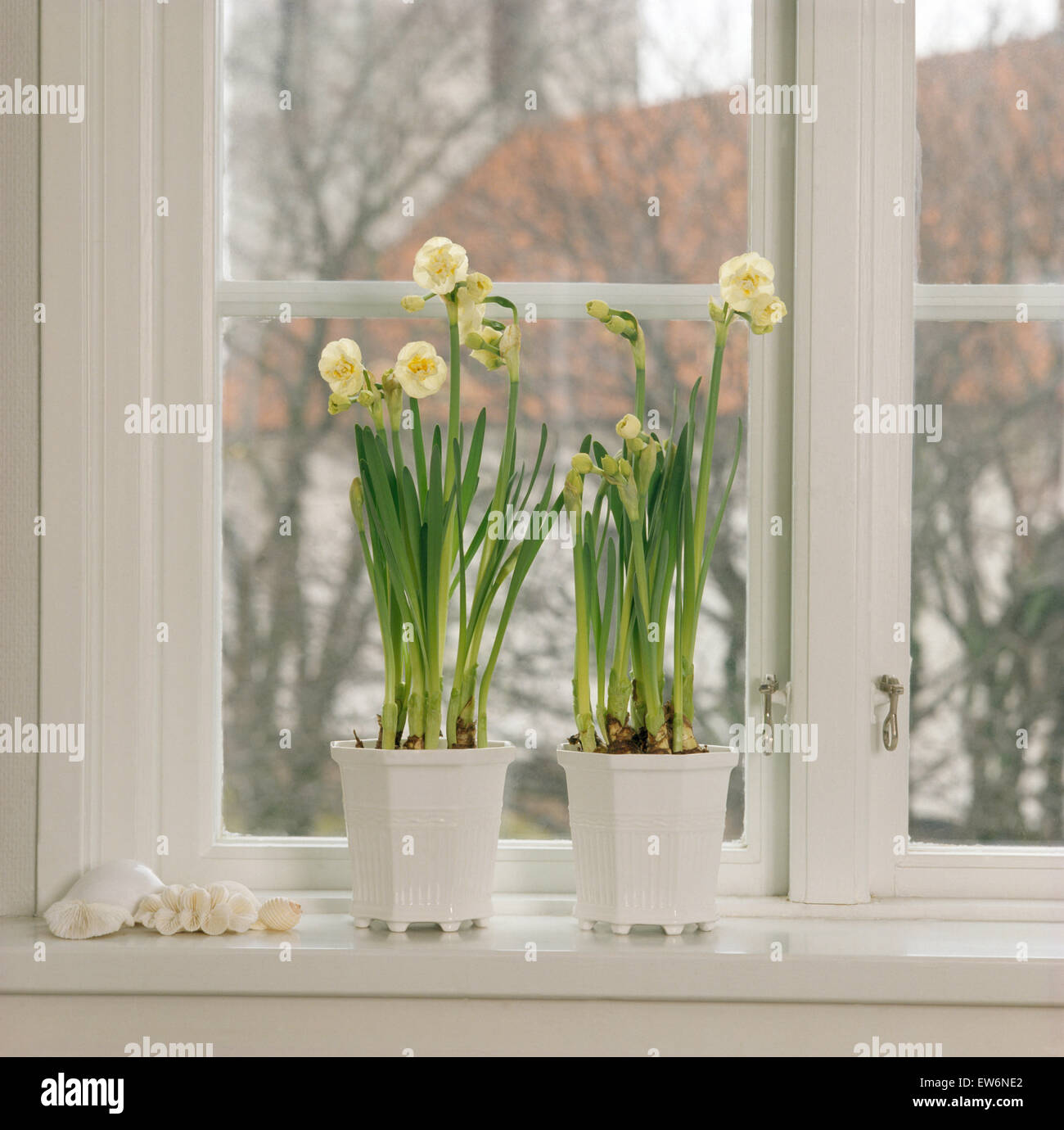 Still-Life of cream 'Cheerfulness' narcissi in white pots on windowsill - Stock Image