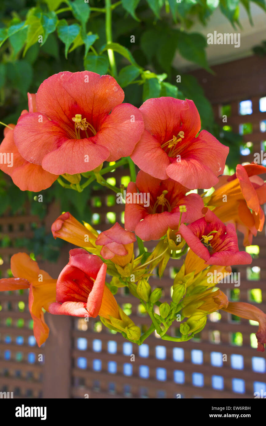 """Campsis radicans """"Indian Summer"""" Trumpet Vine  or Trumpet Creeper cluster of flowers. Stock Photo"""