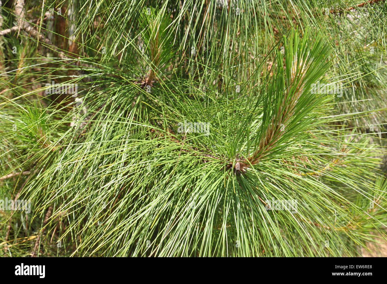 how to grow a long needle pine tree
