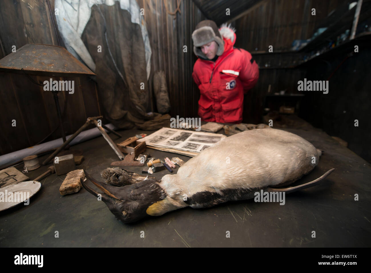 Man examines the contents of the inside of Captain Scott's Terra Nova Hut, Cape Evans, Antarctica. - Stock Image