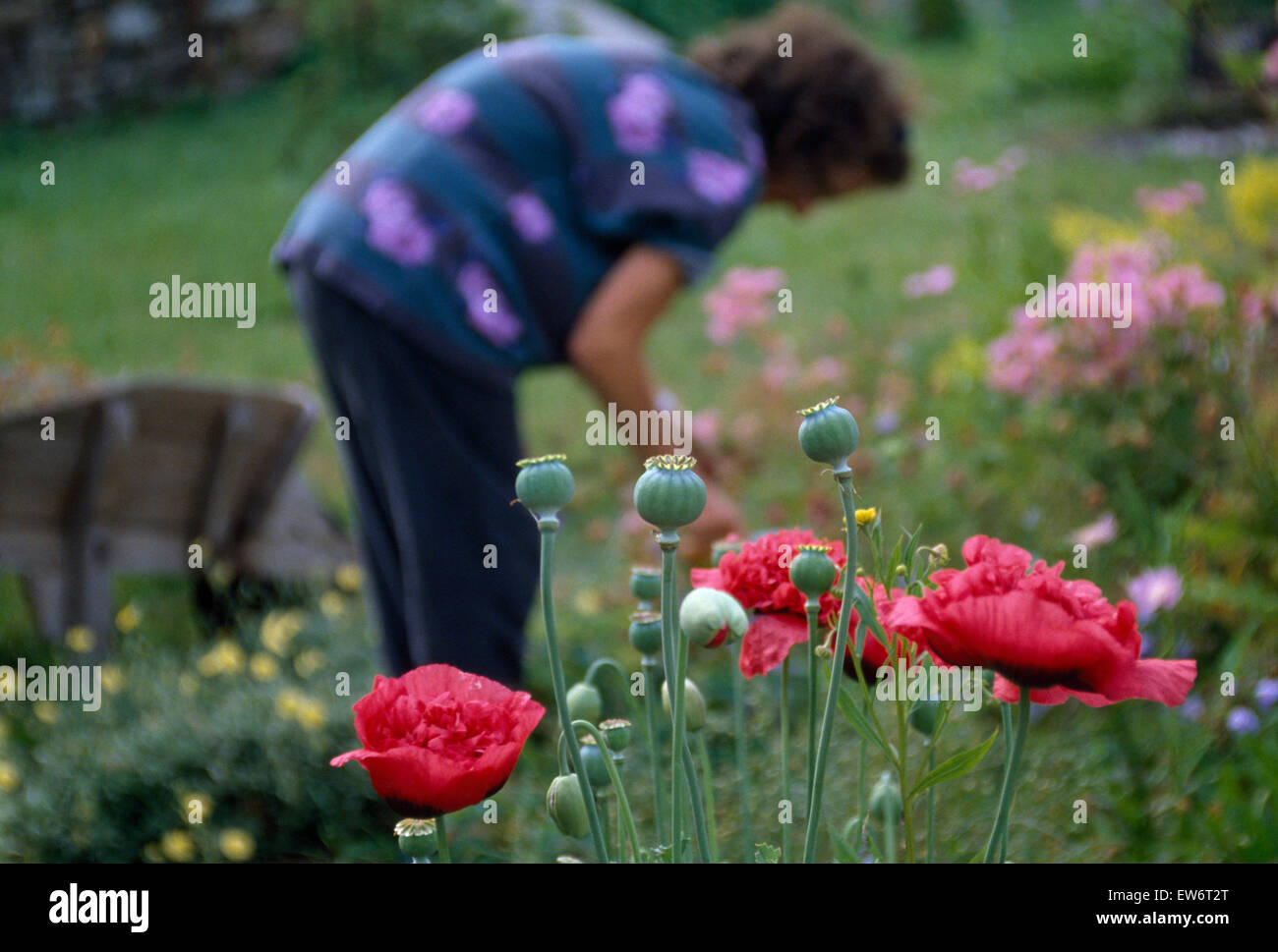 Soft focus view of a woman dead-heading perennials in a country garden - Stock Image