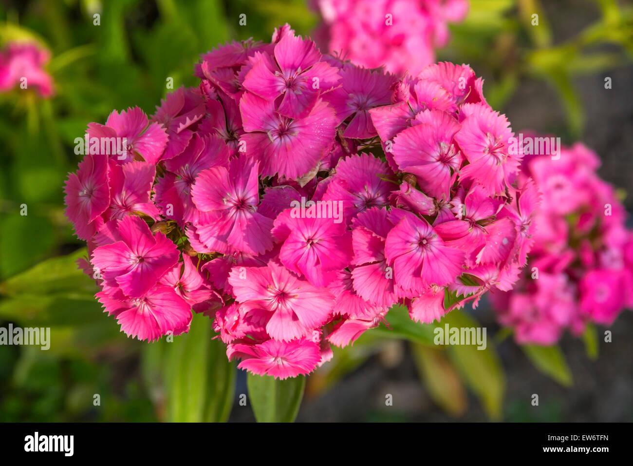 Dianthus barbatus blooms in the summertime garden - Stock Image