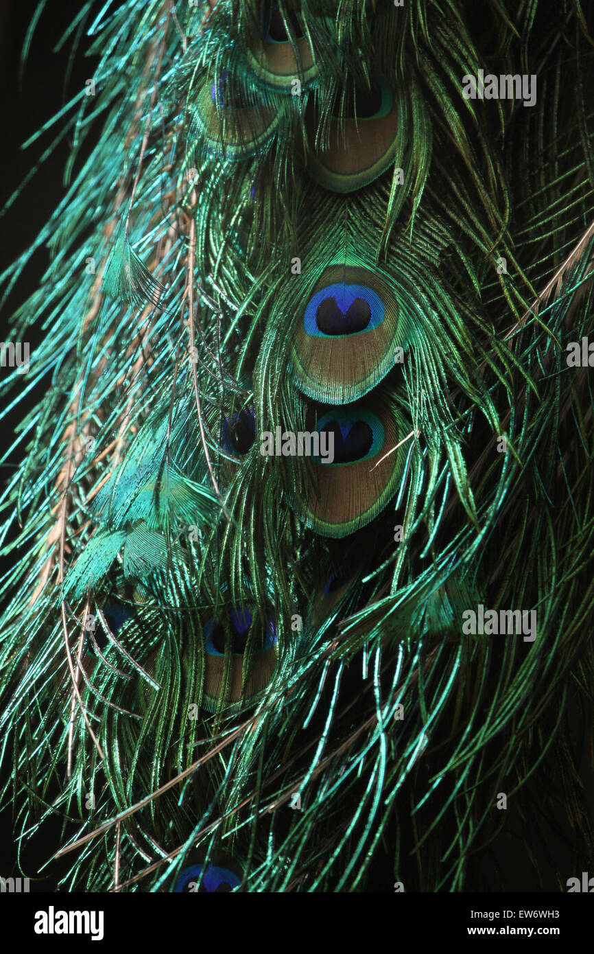 Green peafowl (Pavo muticus), also known as the Java peafowl at Prague Zoo, Czech Republic. - Stock Image