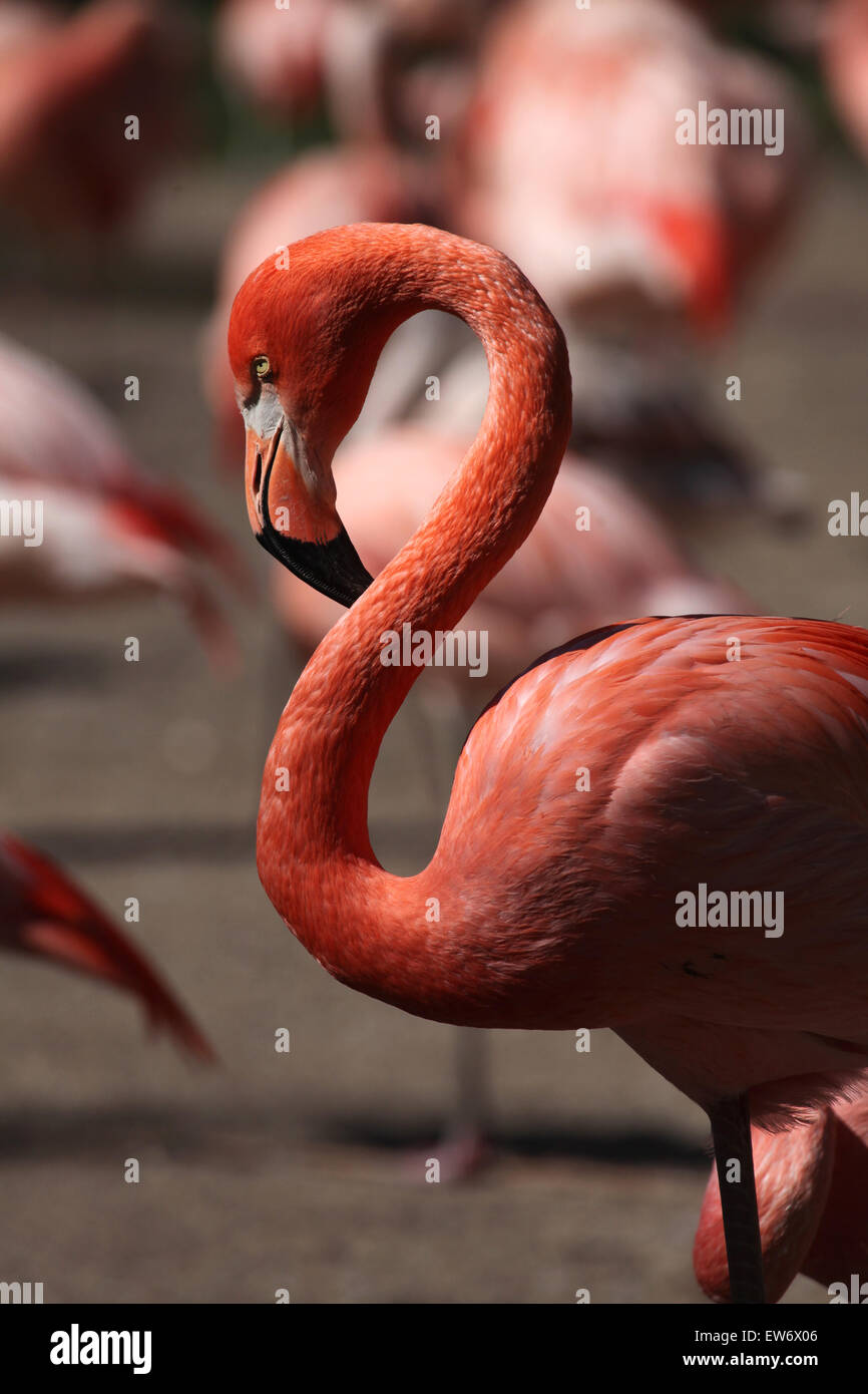 Caribbean flamingo (Phoenicopterus ruber), also known as the American flamingo at Prague Zoo, Czech Republic. Stock Photo