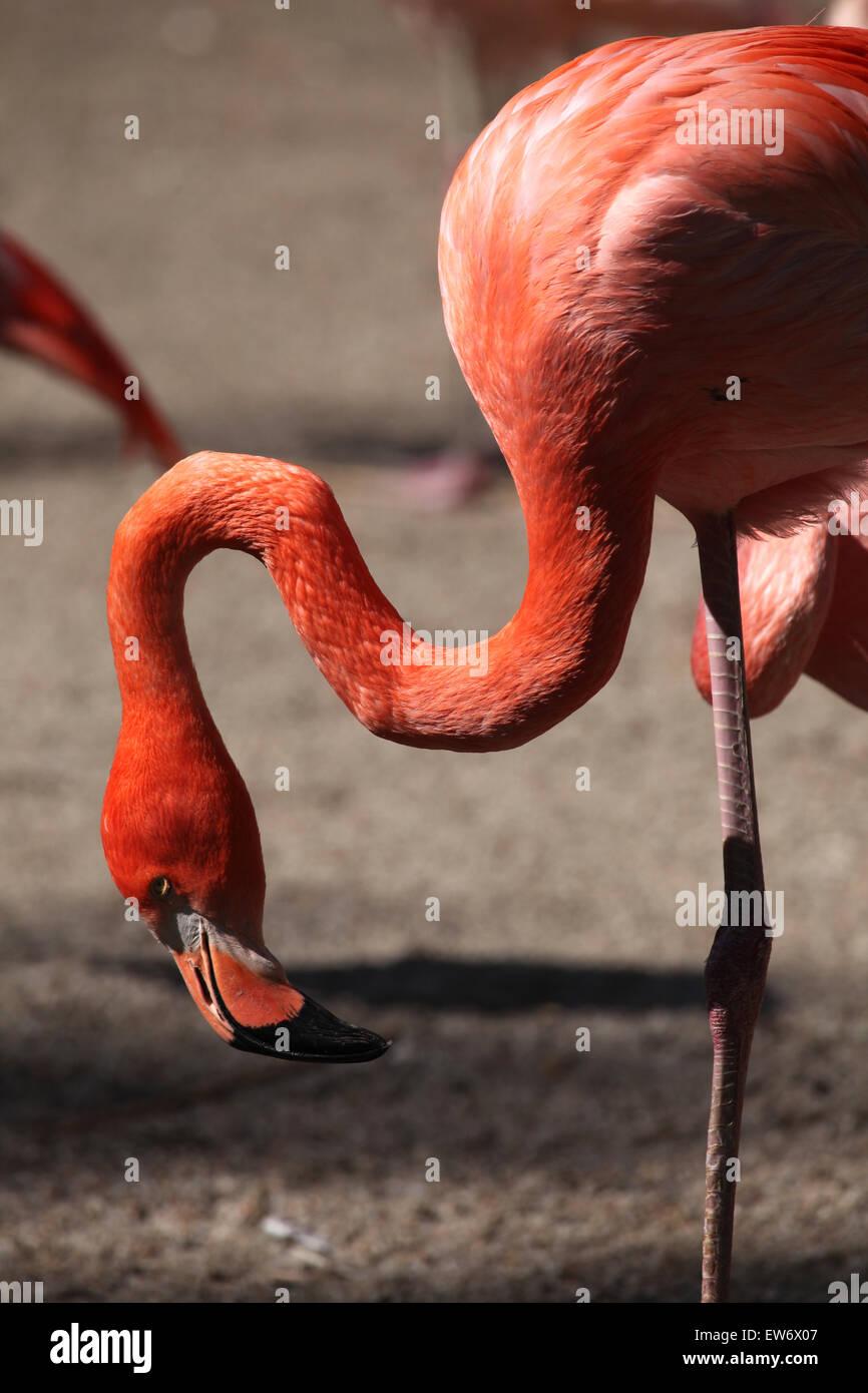 Caribbean flamingo (Phoenicopterus ruber), also known as the American flamingo at Prague Zoo, Czech Republic. Stock Photo