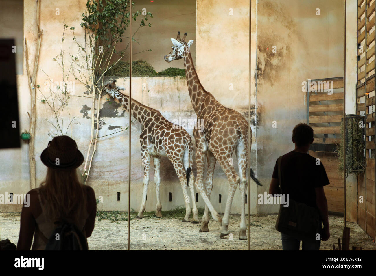 Visitors look at the Rothschild's giraffes (Giraffa camelopardalis rothschildi) at Prague Zoo, Czech Republic. - Stock Image