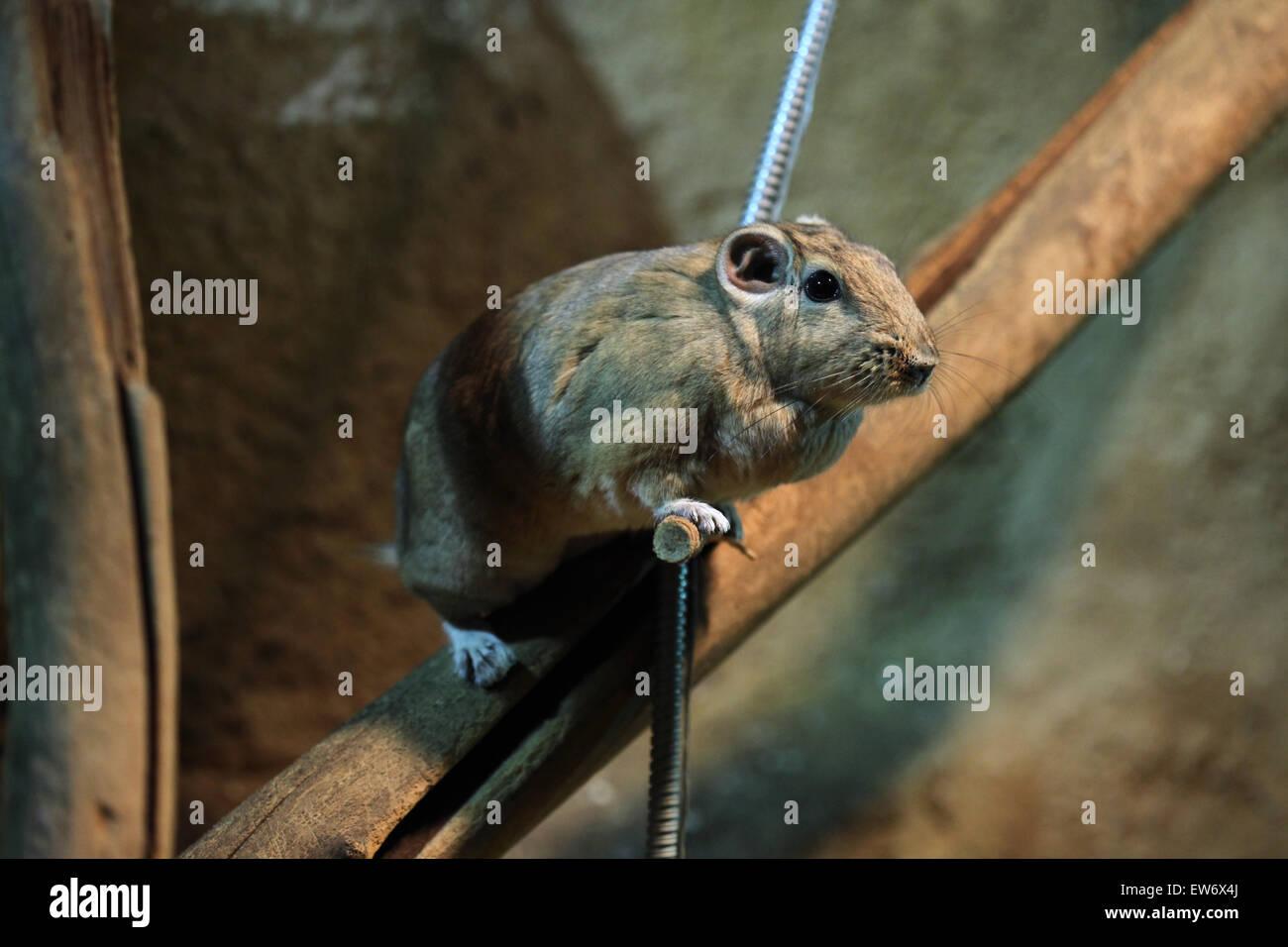 Common gundi (Ctenodactylus gundi) at Prague Zoo, Czech Republic. - Stock Image