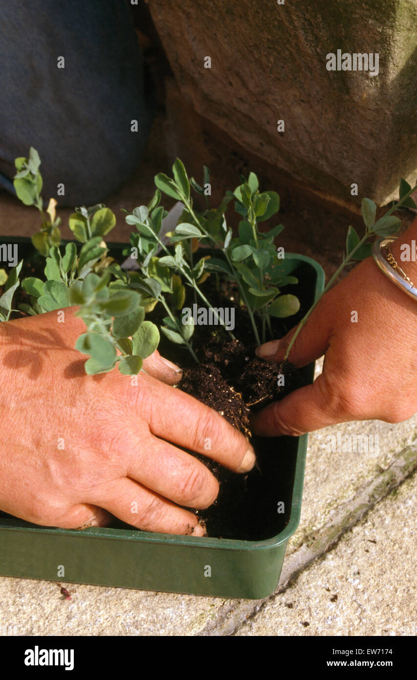 Close-up of hands separating young pea plants - Stock Image