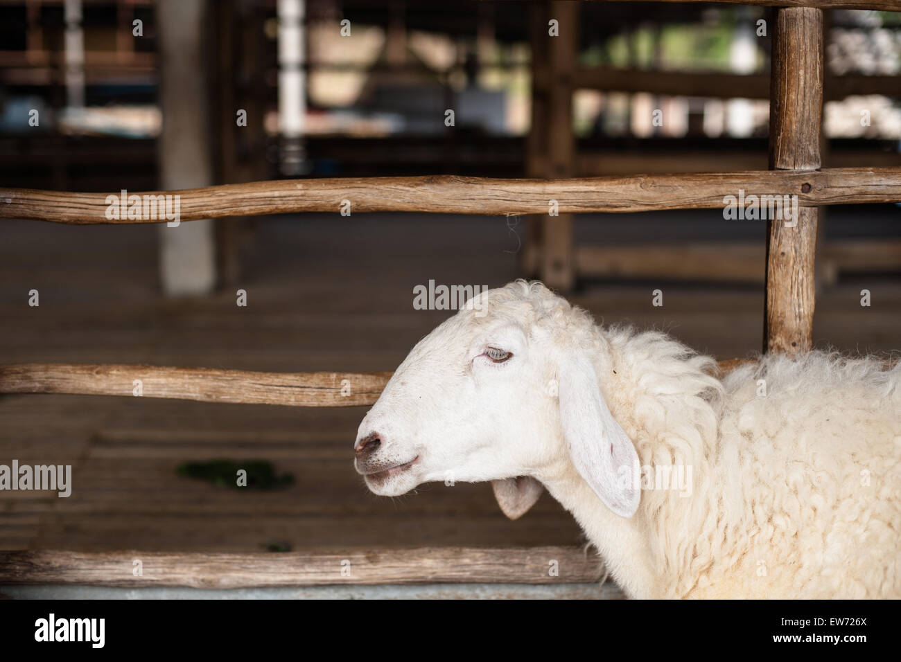 Sheep in the farm fence - Stock Image