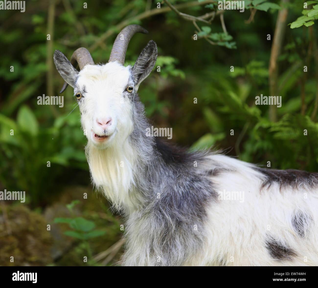 Feral nanny goat in Cheddar gorge, - Stock Image