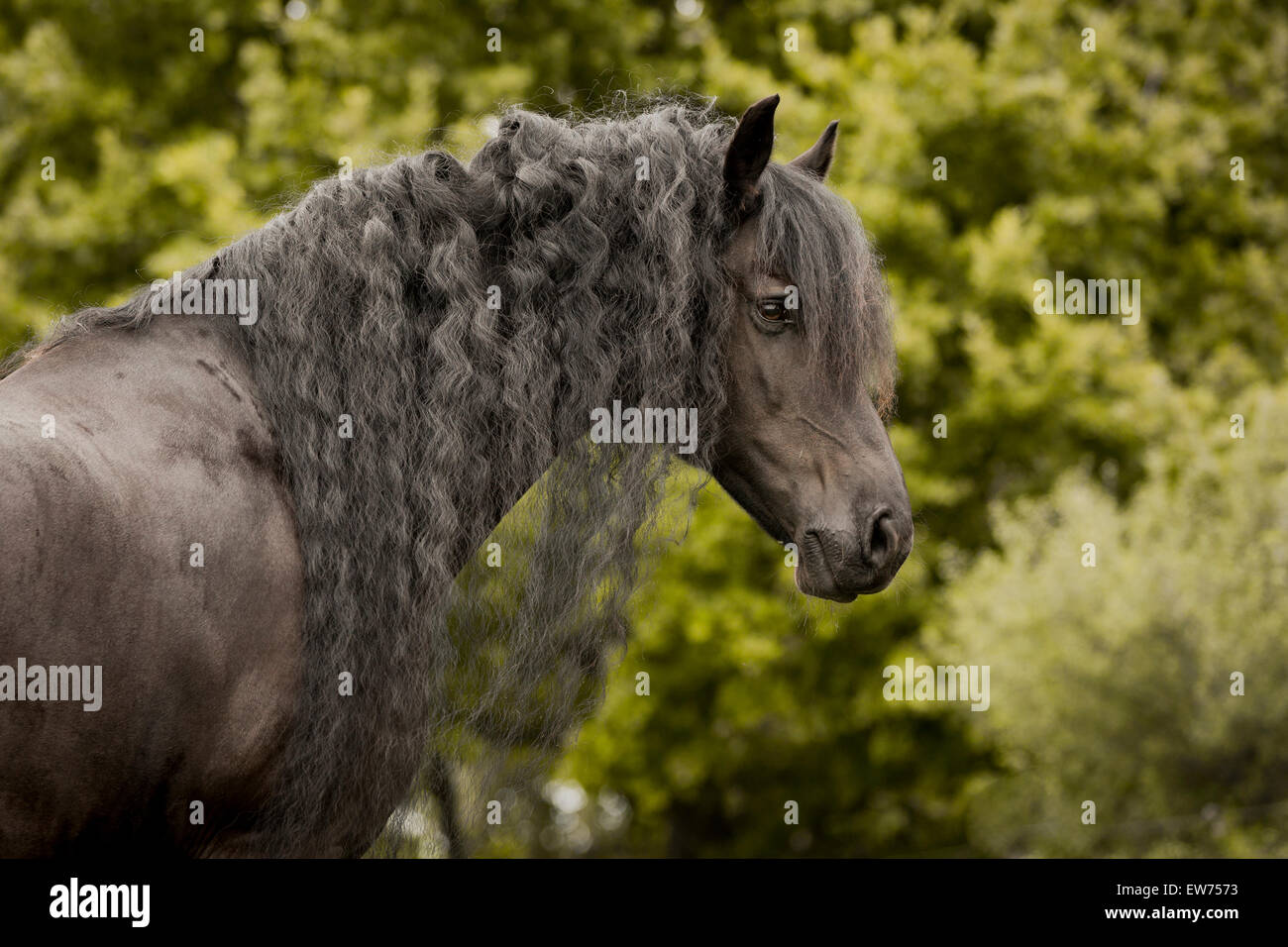 Friesian stallion - Stock Image
