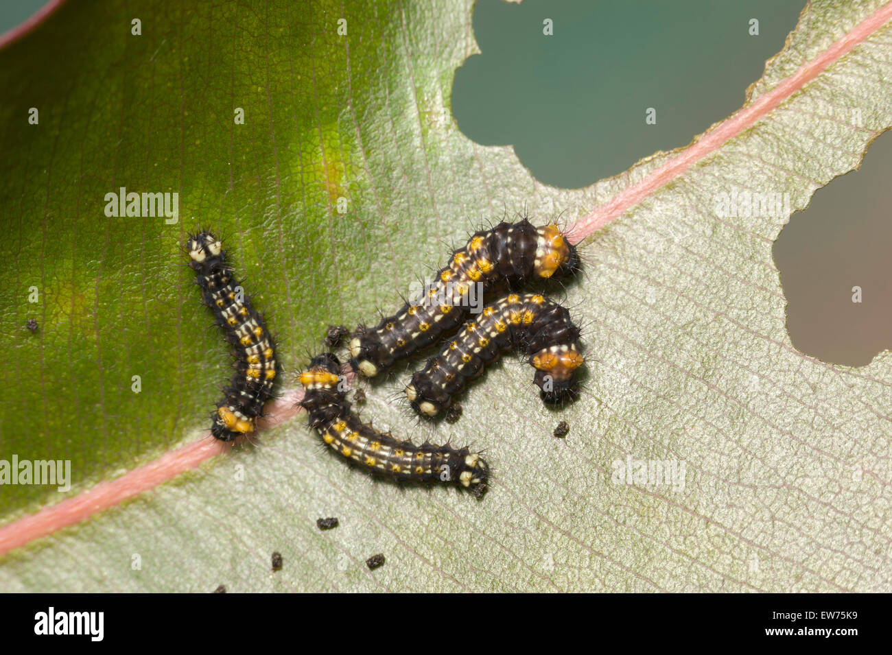Young Emperor gum moth caterpillars - Stock Image
