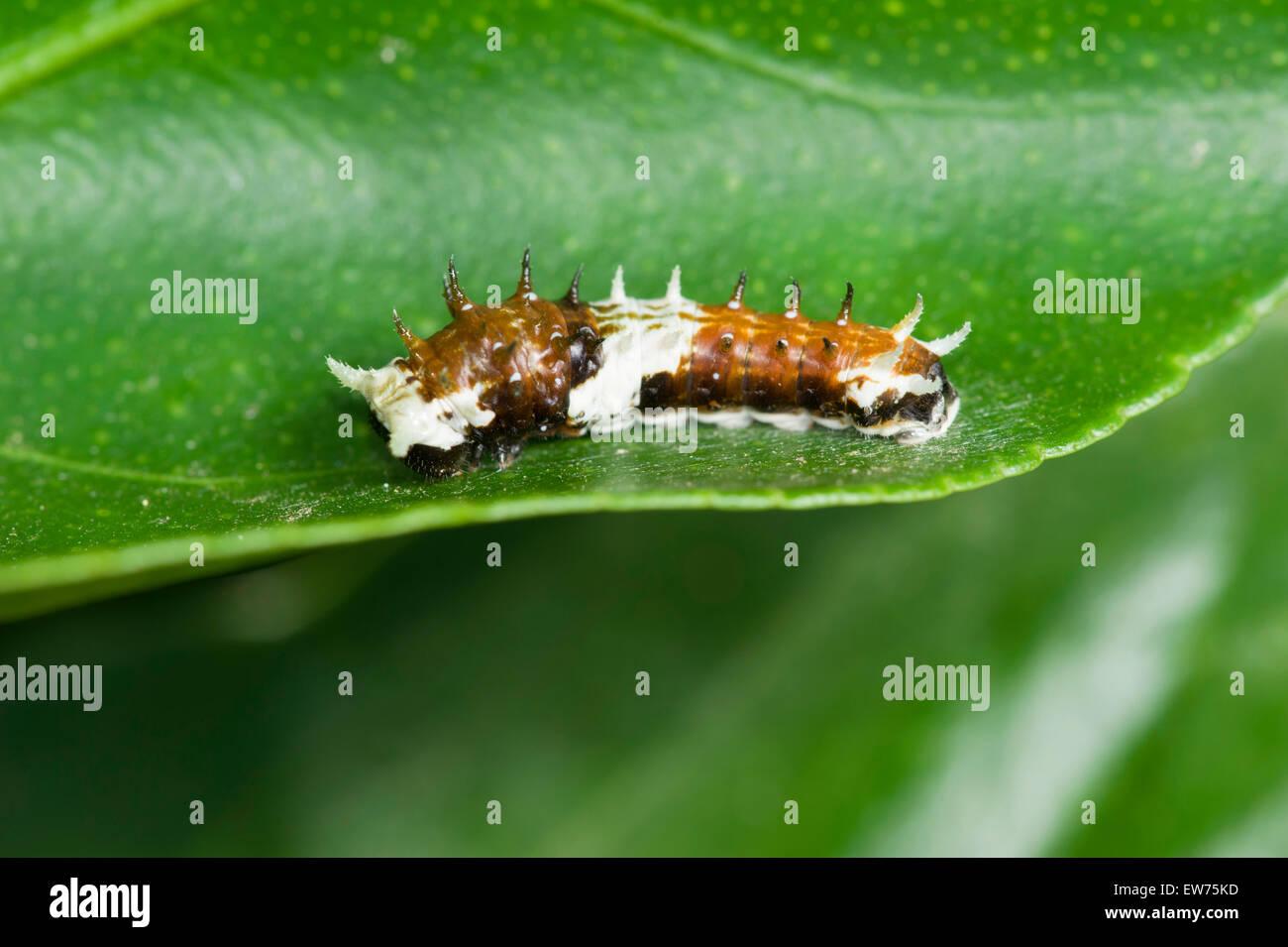 Orchard swallowtail caterpillar resembling bird dropping - Stock Image