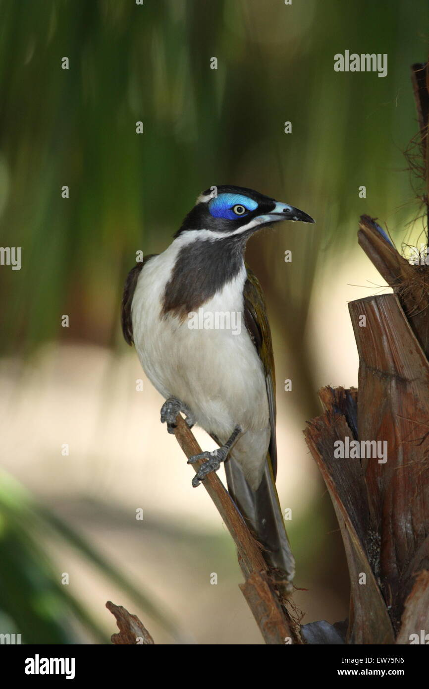 A Blue-faced Honeyeater shows its blue skin around its eyes. - Stock Image