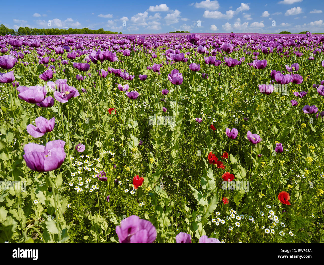 Blooming opium poppy Stock Photo