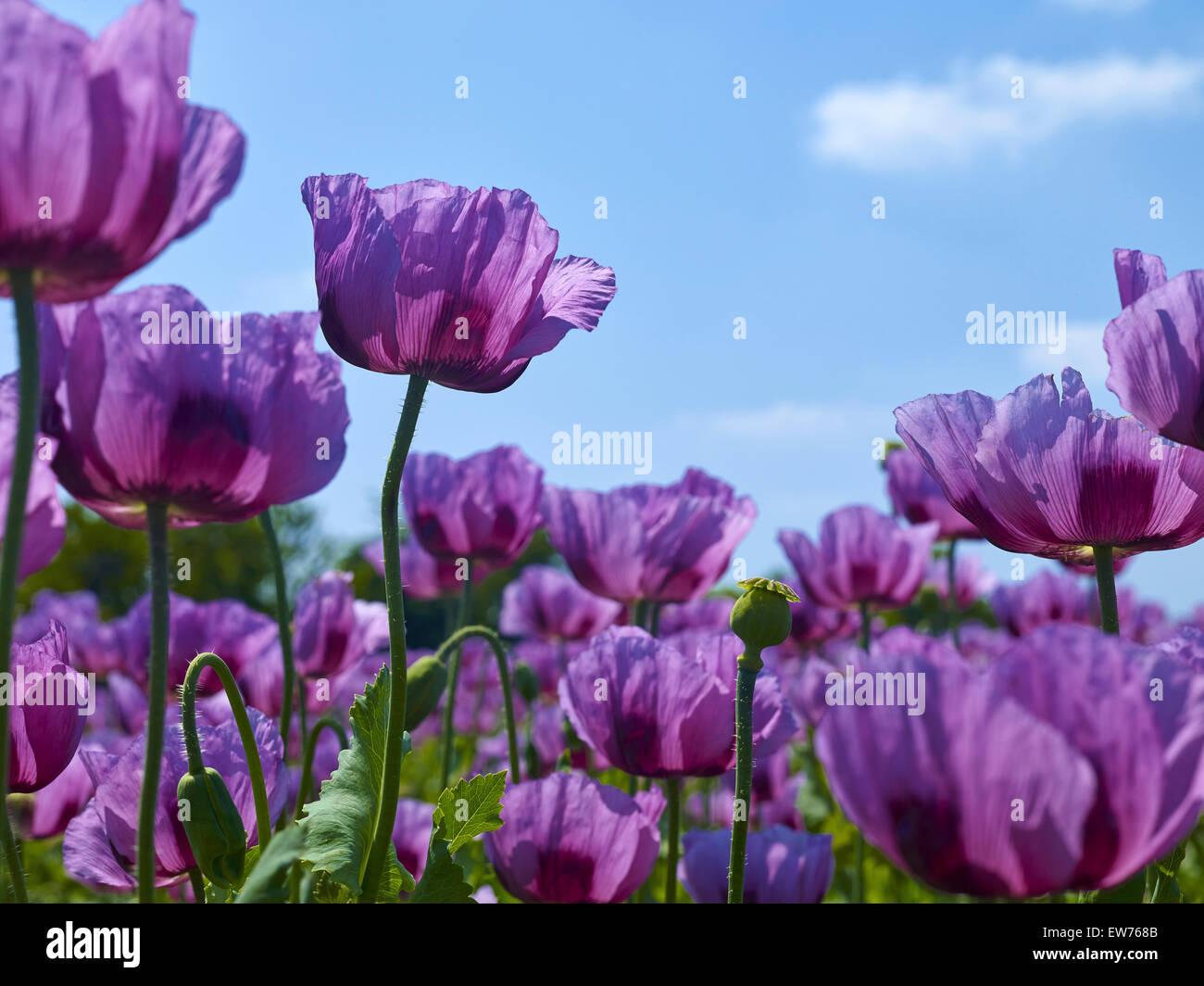 Blooming opium poppy Stock Photo