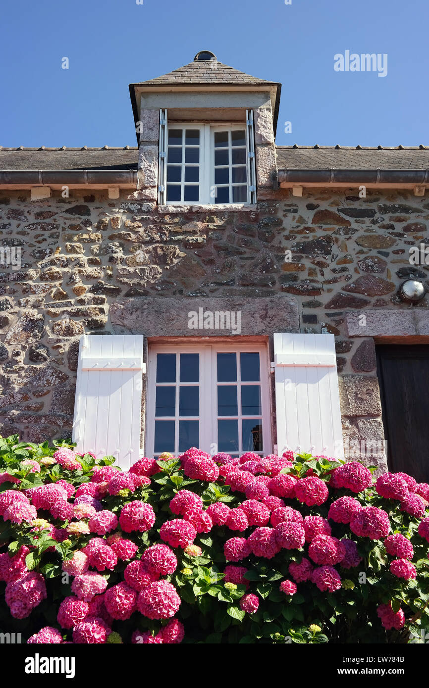 Magenta colored hydrangea bush in front of facade of a stone house - Stock Image