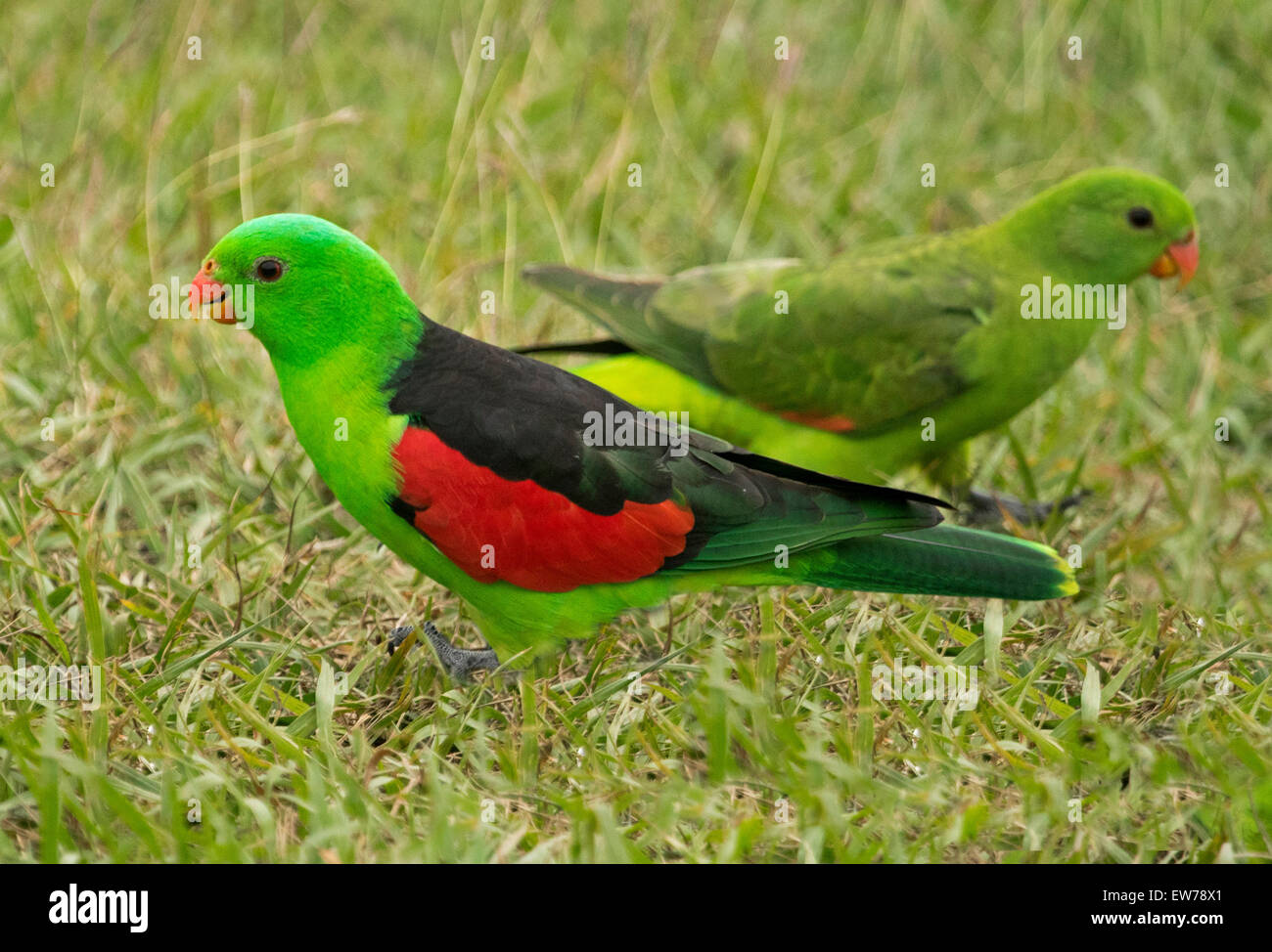 Spectacular male and female red-winged parrots Aprosmictus erythropterus, Australian native wild birds on lawn in - Stock Image