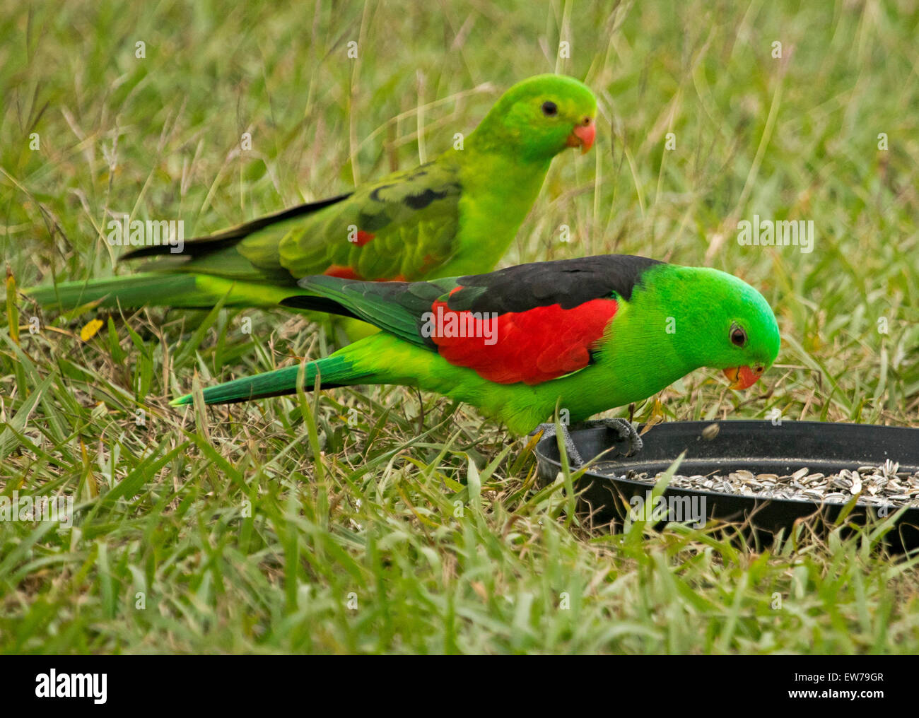 Spectacular male and female red-winged parrots Aprosmictus erythropterus, Australian native birds at bird feeding - Stock Image