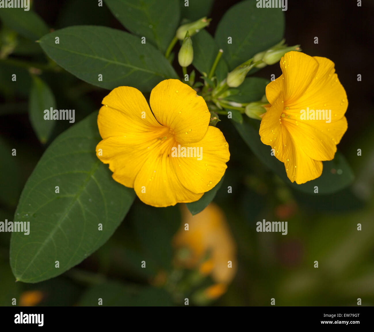 Vivid deep yellow flowers and dark green leaves of reinwardtia stock vivid deep yellow flowers and dark green leaves of reinwardtia indica golden dollar bush on dark background mightylinksfo