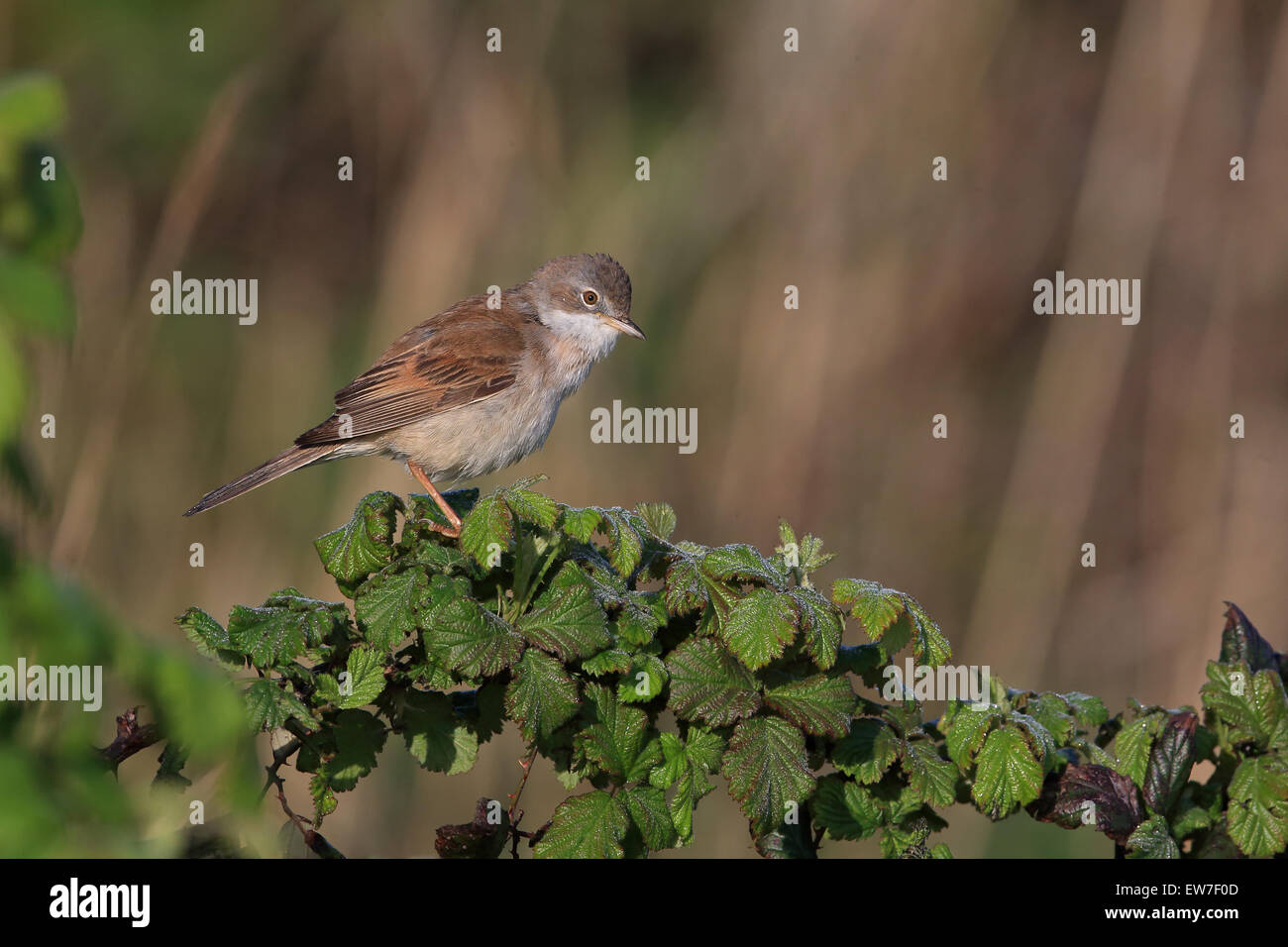 Whitethroat (Sylvia communi) Stock Photo