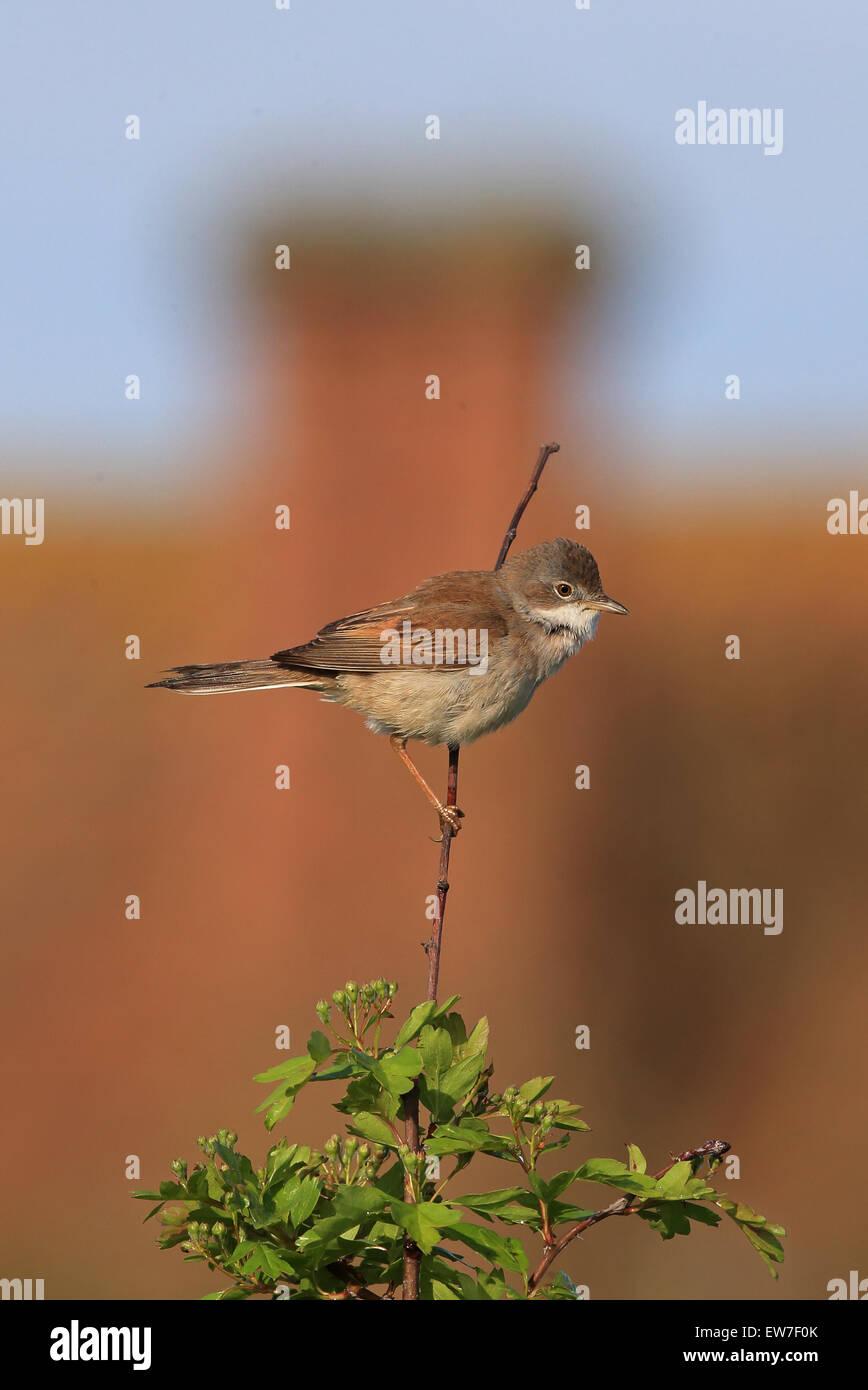 Whitethroat (Sylvia communi) - Stock Image