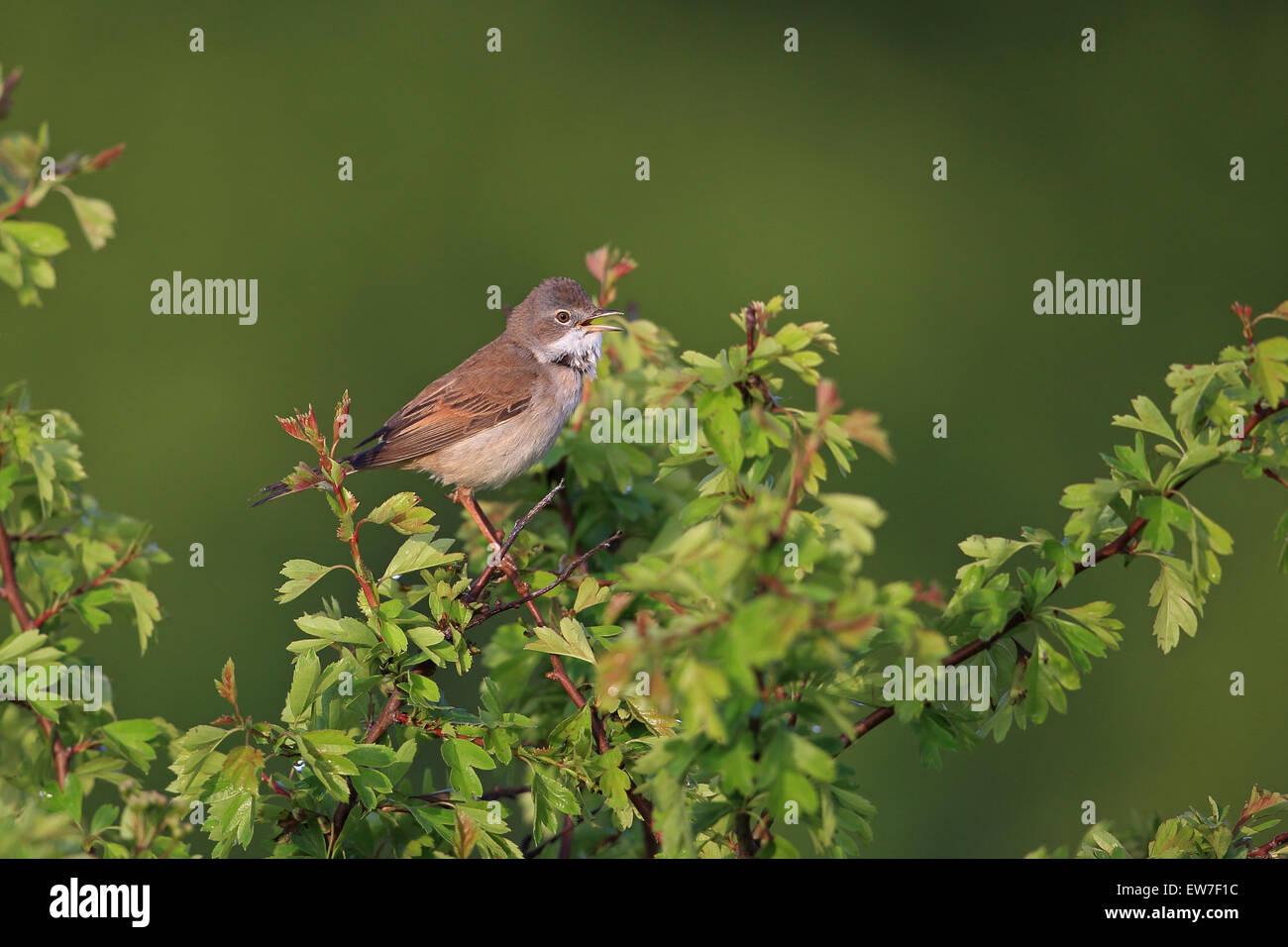 Whitethroat (Sylvia communi) Stock Photo