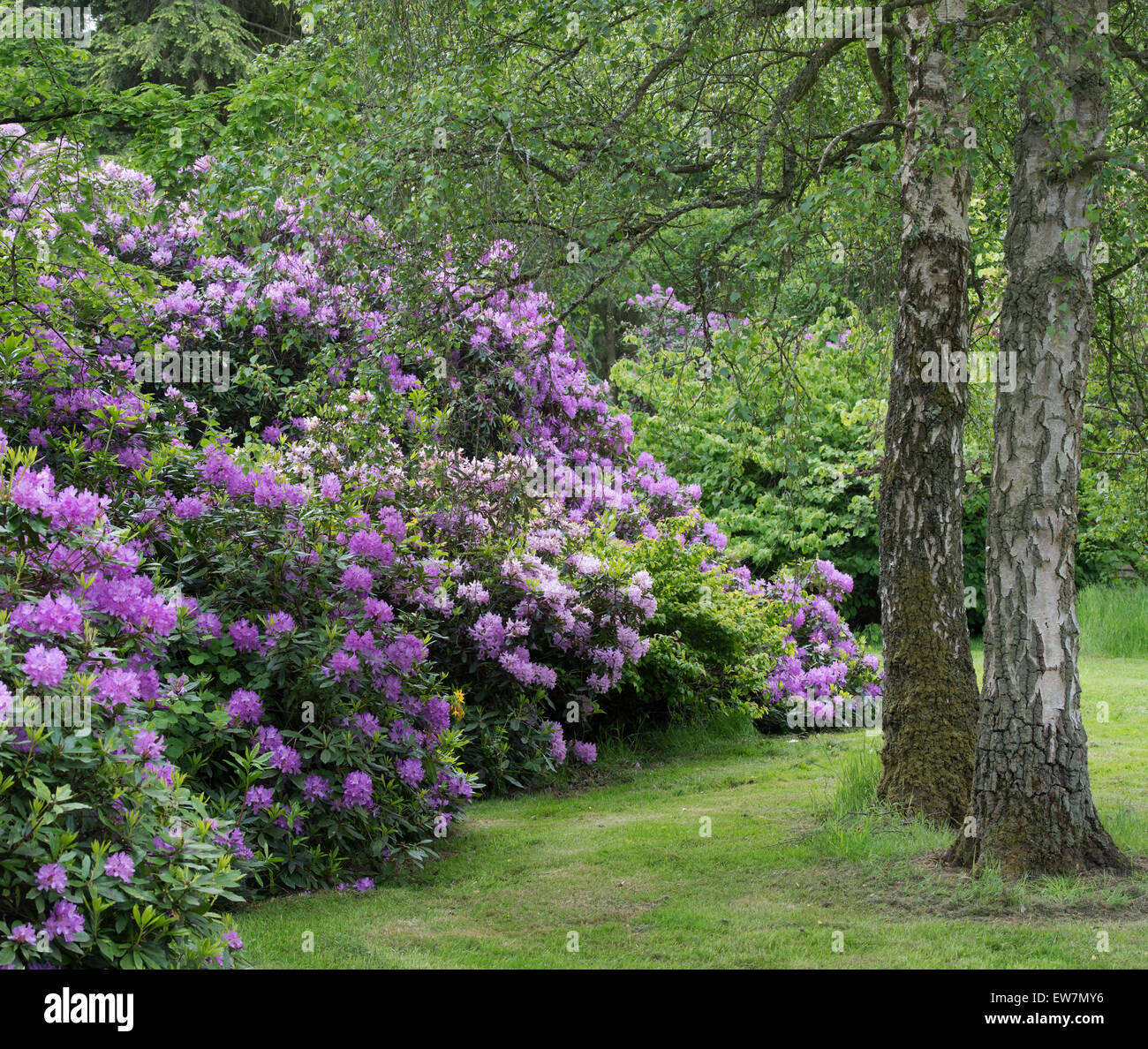 Rhododendron bushes in flower in an English Garden - Stock Image